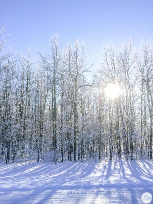 winter trees calgary canada